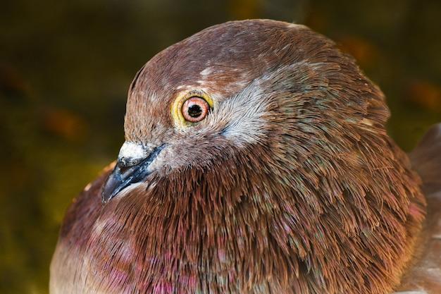 Portret o brązowym gołębicy domowej na zielonym tle