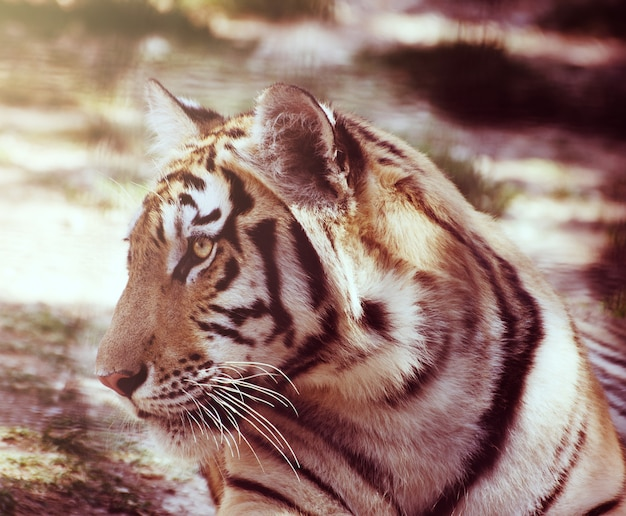 Portret odpoczywa na ziemi młody tygrys