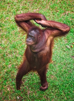 Portret orangutang na zielony trawnik