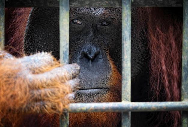 Portret orangutanga w klatce