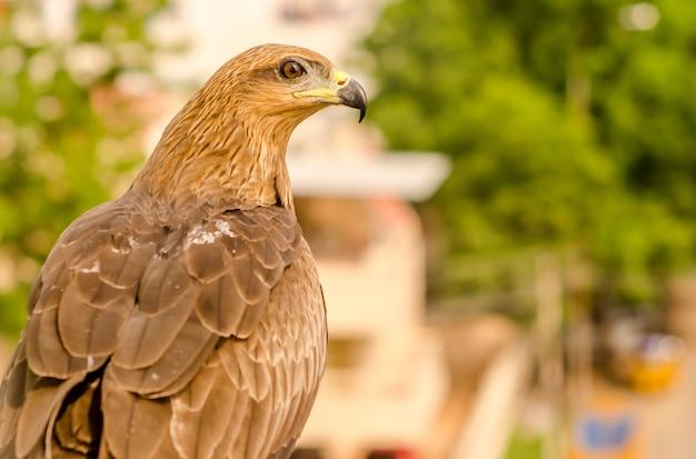 Portret orła, widok z boku