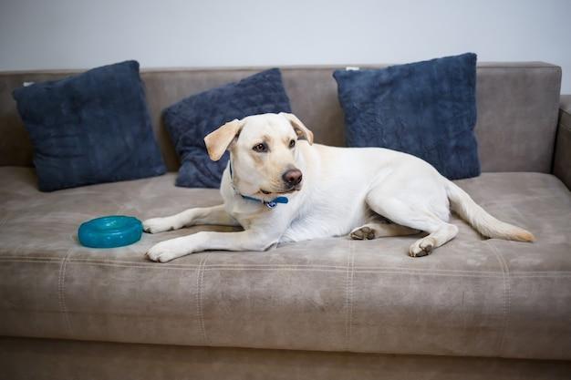Portret osiemnaście miesięcy biały labrador retriever leżącego na szarej kanapie włókienniczych. wesoły i zabawny pies leży w domu. zamknij, skopiuj miejsce.