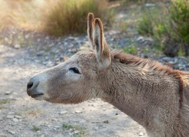 Portret osła w gospodarstwie.