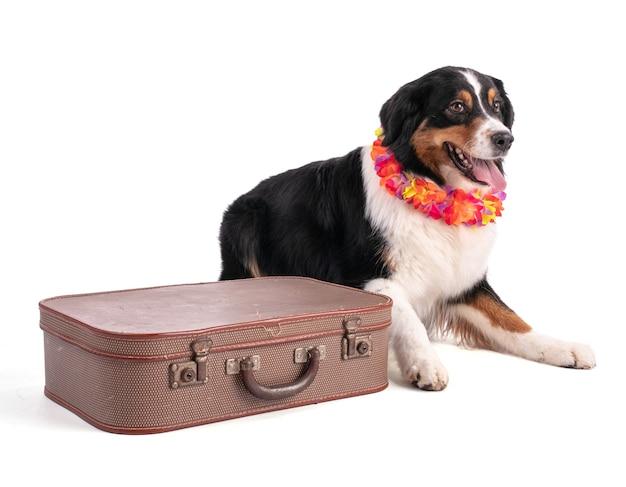 Portret owczarka australijskiego z walizką na białym na białym tle
