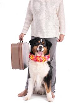 Portret owczarka australijskiego z walizką