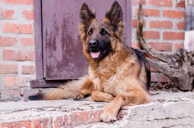 Portret owczarka niemieckiego. zbliżenie na zdjęcie głowy psa.