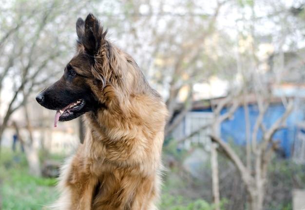 Portret owczarka niemieckiego zdjęcie głowy psa