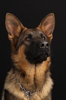 Portret owczarka niemieckiego