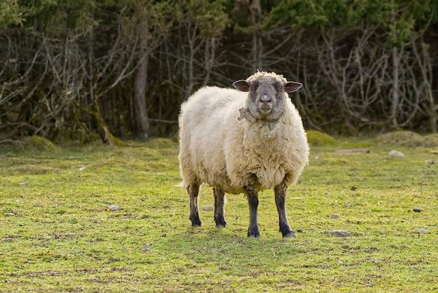 Portret owiec niestrzyżonych owiec w wiosennym polu owce patrzące na kamerę do hodowli koncepcji wolnego wypasu