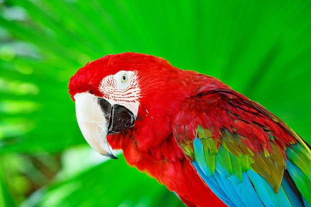 Portret papuga ara szkarłatna przeciwko dżungli. widok z boku głowy dzikiej papugi ara w zielonym tle.