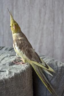 Portret papugi nimfy, szarej papugi, papugi domowej