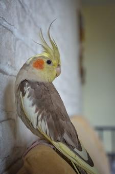 Portret papugi nimfy, zbliżenie nimfy, szara papuga, papuga domowa