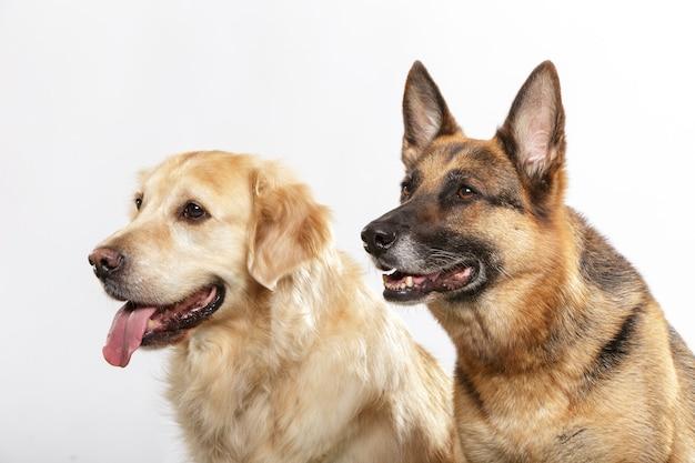 Portret pary wyrazistych psów, owczarka niemieckiego i psa golden retrievera na białym tle