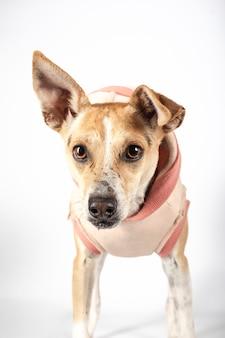 Portret patrzeje kamerę na białym tle crossbreed pies. pies do adopcji. pojedyncze zdjęcie.