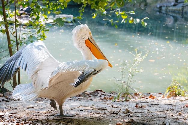 Portret pelikana ptaka na stawie w słoneczny letni dzień