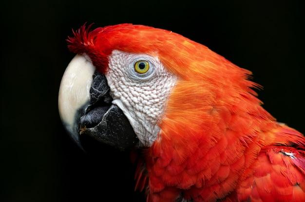Portret piękna szkarłatna ara