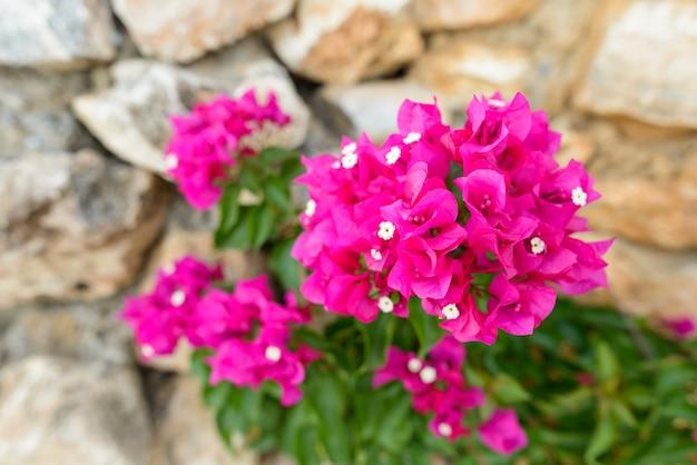 Portret piękne różowe kwiaty kwitnące przed murem na zewnątrz