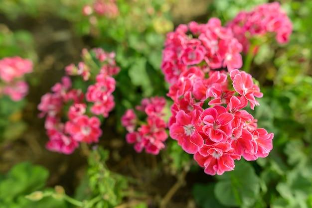 Portret piękne różowe kwiaty kwitnące w przyrodzie na zewnątrz