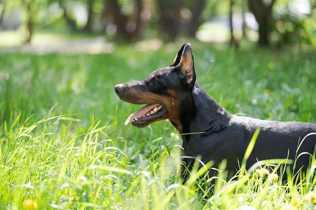 Portret pięknego czarnego i brązowego psa rasy doberman, który siedzi w parku na zielonej trawie latem.