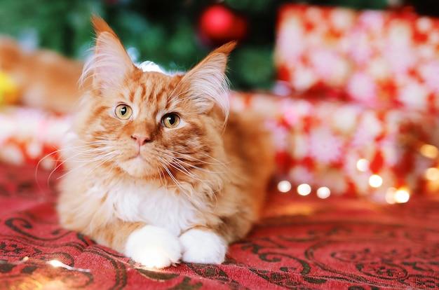Portret pięknego czerwonego kota maine coon siedzącego obok choinki na świątecznym czerwonym kocu. śliczna figlarka z białymi łap spojrzeniami przy kamerą.