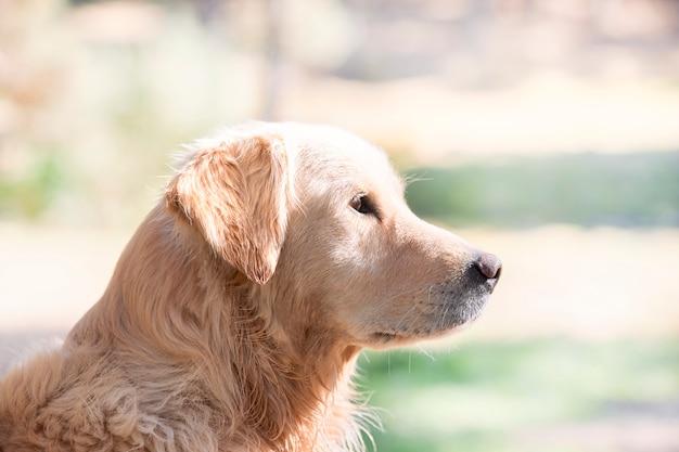 Portret pięknego golden retriever psa