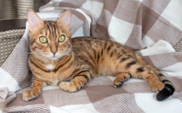 Portret pięknego kota bengalskiego leżącego na wygodnej sofie
