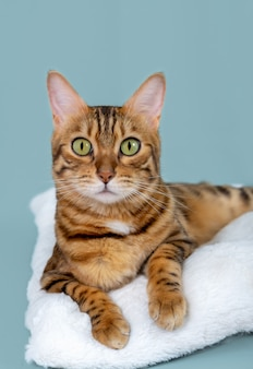 Portret pięknego kota bengalskiego na turkusowym tle. ujęcie pionowe