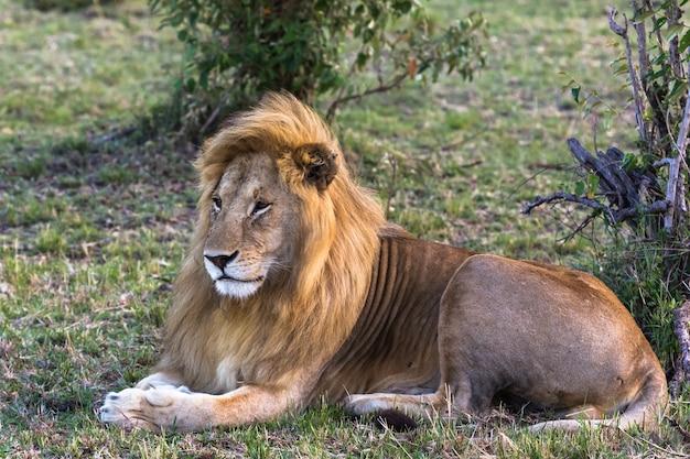 Portret pięknego lwa sawanna afryki