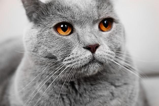Portret pięknego szarego kota na kanapie