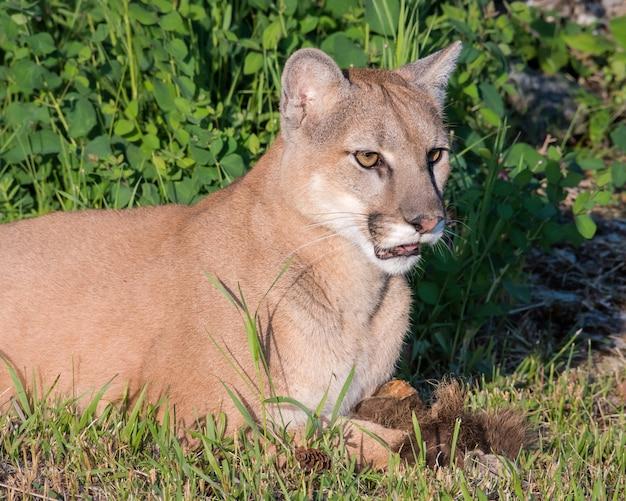 Portret pięknego żeńskiego lwa górskiego