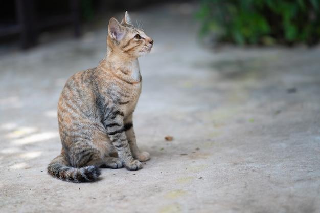 Portret pięknej kotki tajskiej słodkie i niegrzeczne koncepcji kotka lub kota. zwierzak domowy. mieszaniec kotów.