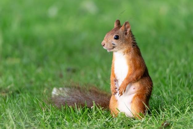 Portret pięknej wiewiórki na trawie