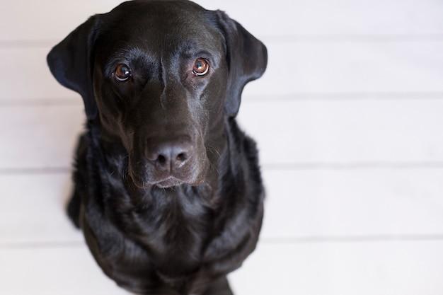 Portret piękny czarny labrador czuje się szczęśliwy i zrelaksowany