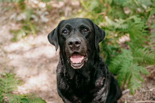 Portret piękny czarny labrador pies siedzi wśród zielonych liści paproci w chodnik w lesie. przyroda i zwierzęta