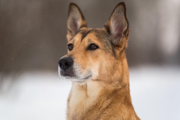 Portret piękny czerwony pies na łące. pies siedzi. pozowanie i odwrócenie wzroku