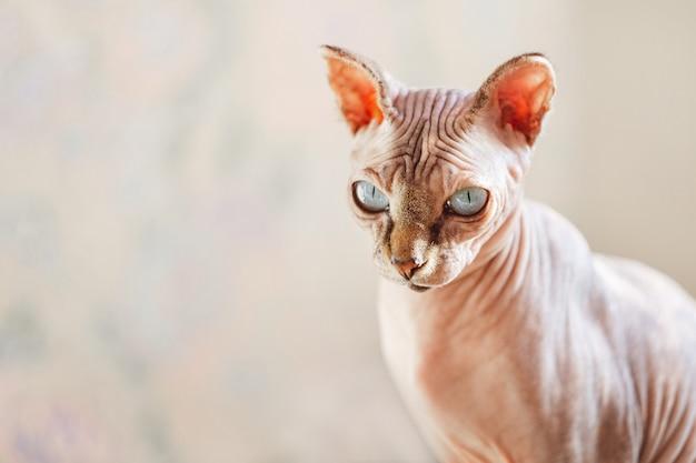 Portret piękny marmurowy kot sfinks o niebieskich oczach na tle ściany z marmuru