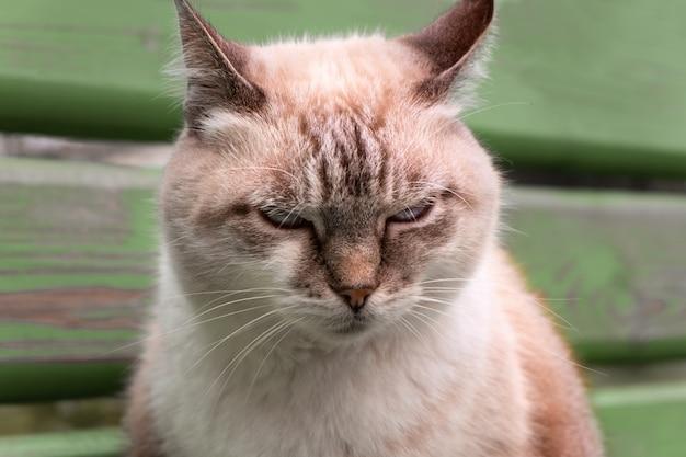 Portret piękny niezadowolony kot z bliska