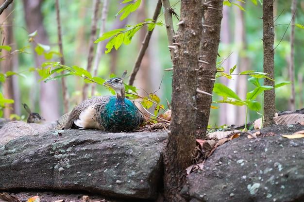 Portret piękny paw w przyrodzie.