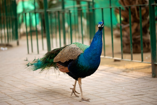 Portret piękny paw z piórami, paw - paw pozuje dla turystów islamabad zoo