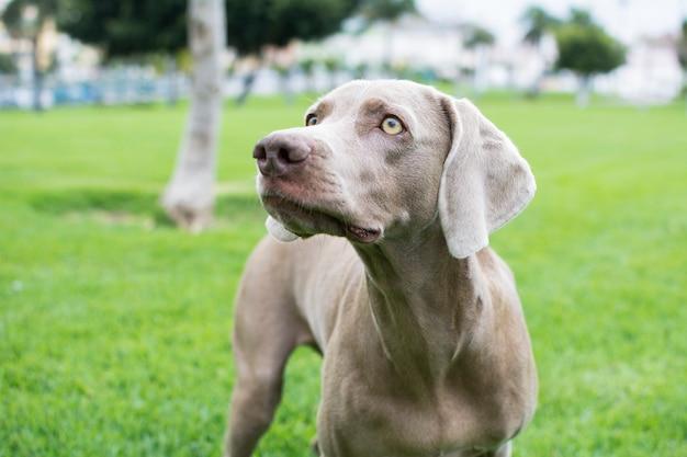 Portret piękny pies rasy weimaraner na białym tle na zielonej trawie