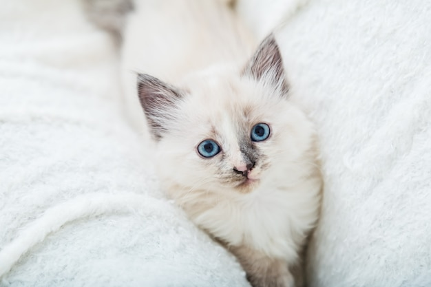 Portret piękny puszysty biały kotek z niebieskimi oczami na białym kocu. kot zwierzę dziecko kociak z dużymi oczami siedzi na białą kratę i patrząc w aparacie.