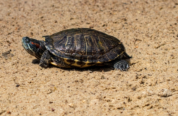 Portret piękny żółw na piasku z bliska.