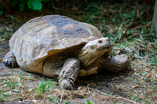 Portret piękny żółw w zielonej trawie z bliska.