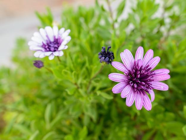 Portret pięknych fioletowych kwiatów kwitnących w przyrodzie na zewnątrz
