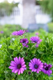 Portret pięknych kwiatów nagietka violette na zewnątrz w przyrodzie