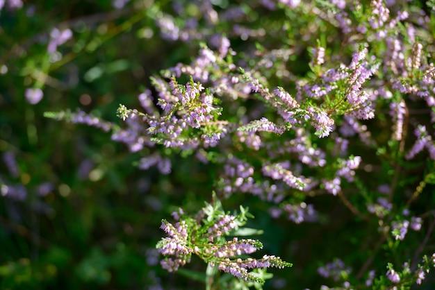 Portret pięknych kwiatów wrzosu pospolitego kwitnących w przyrodzie na zewnątrz