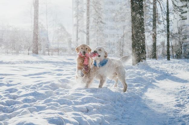 Portret pies na zewnątrz w zimie. dwa młode golden retriever bawiące się w śniegu w parku. zabawki do holowania