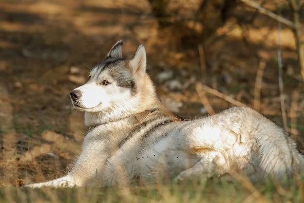 Portret. pies odpoczywa po wyścigu. syberyjski husky.