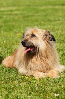 Portret podobnego psa lhasa apso w zielonej trawie.