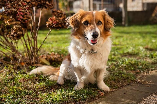 Portret pół rasy biały i brązowy pies siedzi na zielonym trawniku